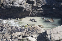 New Zealand fur seal puppies playing and swimming Royalty Free Stock Images