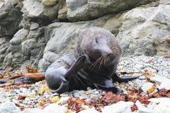 New Zealand Fur Seal scratching itself. Big  Zealand Fur Seal scratching itself on Rocky Beach, near Kaikoura,  Zealand Stock Photography
