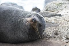 A New Zealand Fur Seal Smiles For The Camera. A close up shot of a New Zealand fur seal on the South Island stock images