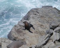 New Zealand fur seal Royalty Free Stock Image
