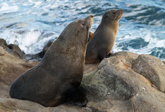 New Zealand fur seals Royalty Free Stock Images