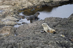 New Zealand fur seals Stock Image