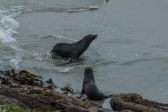 New Zealand fur seals Arctocephalus forsteri at Dunedin seal colony, New Zealand. New Zealand fur seals Arctocephalus forsteri also called the Australasian fur Stock Image