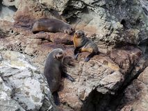 New Zealand Fur Seals Royalty Free Stock Image