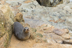 New Zealand Fur Seals Stock Photos