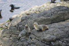 New Zealand fur seals on the rocks Stock Photography