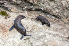 New Zealand fur seals Royalty Free Stock Photos