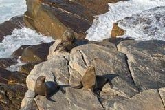 New Zealand fur seals sunbathing on Colony rocks, Kangaroo Islan Stock Photos