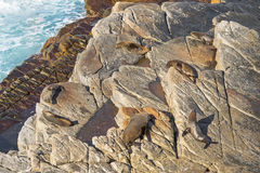 New Zealand fur seals sunbathing on Colony rocks near the ocean Royalty Free Stock Image