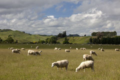 New Zealand - Grazing sheep Royalty Free Stock Photos