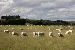 New Zealand - Grazing sheep Stock Image