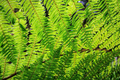 New Zealand green fern background stock images