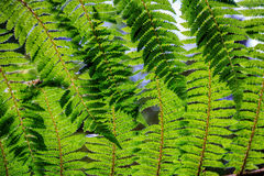 New Zealand green fern background royalty free stock images