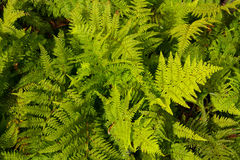 New Zealand green ferns background royalty free stock photography