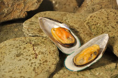 New Zealand Greenshell Mussels Stock Images