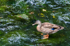 New Zealand Grey Teal Stock Photography