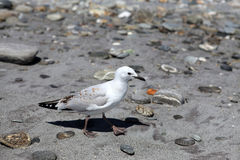 New Zealand Gull Stock Photos