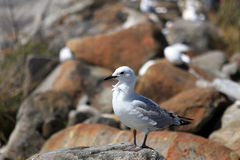 New Zealand Gull Royalty Free Stock Photos