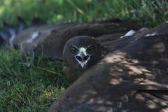 New Zealand Hawk Stock Photo