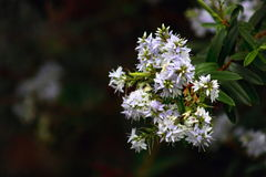New Zealand Hebe. Close up of New Zealand Hebe Flowers Stock Image