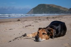 Free New Zealand Huntaway Dog At The Beach After Retiring From 10 Years Working Full Time Sheep Herding Stock Image - 137005341
