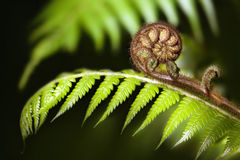 New Zealand iconic fern koru stock image