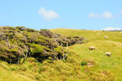 New Zealand inshore landscape. With trees and sheep Stock Images