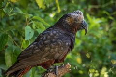 New Zealand Kaka Brown Parrot Crest Feathers royalty free stock photos