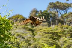 New Zealand Kaka Brown Parrot In Flight. The New Zealand Kaka is a rare and endangered brown parrot with a playful and some times mischievous attitude royalty free stock image
