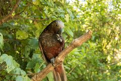 New Zealand Kaka Brown Parrot Holding Seed With Claws. The New Zealand Kaka is a rare and endangered brown parrot with a playful and some times mischievous stock image