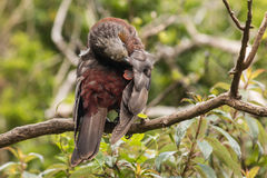 New Zealand kaka grooming Royalty Free Stock Image