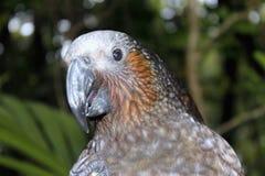 New Zealand Kaka Parrot Royalty Free Stock Photo