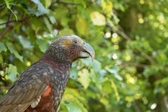 Kaka Brown Parrot Calling. The New Zealand Kaka is a rare and endangered brown parrot with a playful and some times mischievous attitude royalty free stock photography
