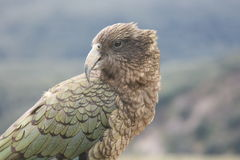 New Zealand Kea Royalty Free Stock Photo