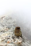 New Zealand Kea Royalty Free Stock Images