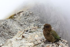 New Zealand Kea Royalty Free Stock Photography