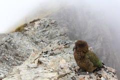 New Zealand Kea. The native New Zealand bird, the Kea, seen on a ridge of Avalanche Peak Royalty Free Stock Photography