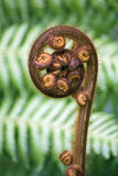 New Zealand Koru fern frond Royalty Free Stock Photos