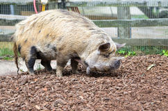 New Zealand Kunekune pig. The Maori name for this species of pig, means fat and round Stock Photography