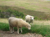 New Zealand lamb Royalty Free Stock Photography