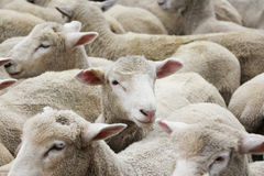 New Zealand Lambs Stock Photography
