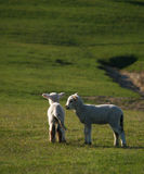 New Zealand lambs Royalty Free Stock Image