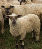New Zealand Lambs. New Zealand young sheep tht have dark faces Stock Images