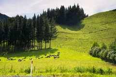 New Zealand landscape and cows. New Zealand, landscape with cows on the road to Picton, the south island Stock Photos