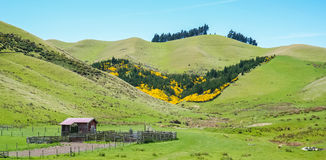 New Zealand Landscape. With rolling green hills, wood shed in left foreground yellow wildflowers in mid-ground, trees on top of hills, blue sky background Royalty Free Stock Photos