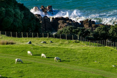 New zealand landscape with sheep pacific ocean. New zealand landscape with sheep and pacific ocean Royalty Free Stock Images