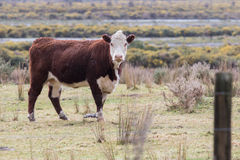 New zealand livestock cow standing in animals farm field looking Stock Photos