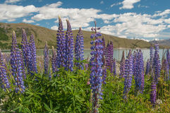 New Zealand Lupins Royalty Free Stock Photos