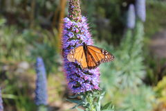 New Zealand Monarch Butterfly on Lavender plant Stock Photography