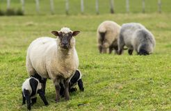 Sheep and Lambs. New Zealand mother sheep and her twin black lambs with their coats on royalty free stock image